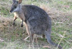 Tammar wallaby Macropus eugenii, Foto: Wikipedia