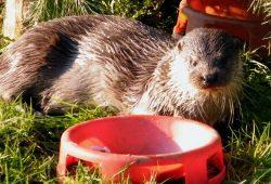 Ein Fischotter beim Fressen. Foto: Wildpark e.V.