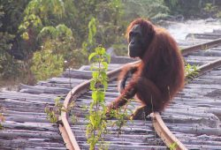Lebensraumverlust und Wilderei sind die größten Gefahren für die Orang-Utans. Foto: MPI EVA, Serge Wich