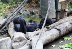 Natascha mit ihrem Jungtier auf der Innenanlage von Pongoland. Foto: Zoo Leipzg