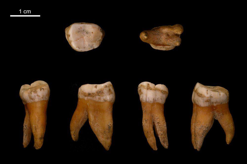 Großer Backenzahn aus dem Oberkiefer eines Neandertalers aus Spy in Belgien. Foto: Max-Planck-Institut für evolutionäre Anthropologie / I. Crevecoeur
