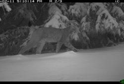 Eine Kamerafalle lieferte den Beweis: Der Luchs ist in den Thüringer Wald zurückgekehrt. Bild: Dirk Hirsch