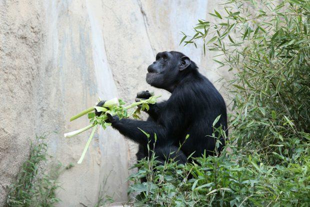 Schimpanse auf der Außenanlage Pongoland. Foto: Zoo Leipzig