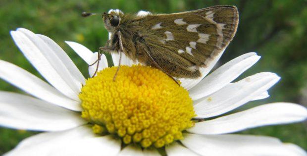 Schmetterlinge sind wichtige Bestäuber in unseren Ökosystemen. Das Foto zeigt einen Dickkopffalter auf einer Margerite. Foto: Reinart Feldmann / UFZ