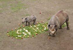 Schmackhafte Namensgebung für das kleine Spitzmaulnashorn Sudan mit Mutter Saba © Zoo Leipzig