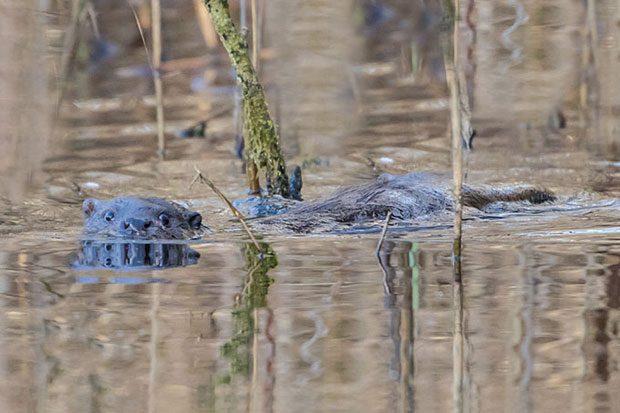 Fischotter. Foto: Bärbel Franzke
