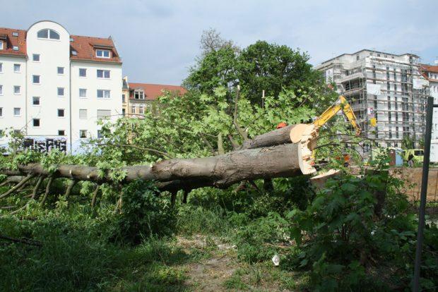 Auch in Connewitz wird eifrig gefällt und gebaut. Archivfoto: Ralf Julke