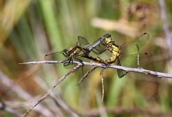 Diese Libellen sorgen für Nachwuchs: Paarungsrad des Kleinen Blaupfeils. Foto: Dr. Rainer Hoyer