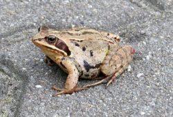 Bei milden Temperaturen begeben sich die Amphibien auf Wanderschaft, wie zum Beispiel der Moorfrosch. Auf dem Weg zu ihren Laichgewässern fallen sie leider oftmals dem Straßenverkehr zum Opfer. Foto: NABU