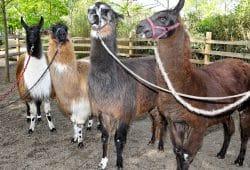Lama-Quartett. Foto: Zoo Leipzig