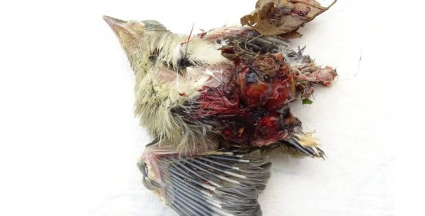 Beim Heckenschnitt getötete Mönchsgrasmücke. Foto: NABU Leipzig