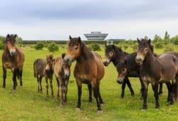 Exmoor-Ponys im Offroad-Gelände. Foto: Porsche Werk Leipzig