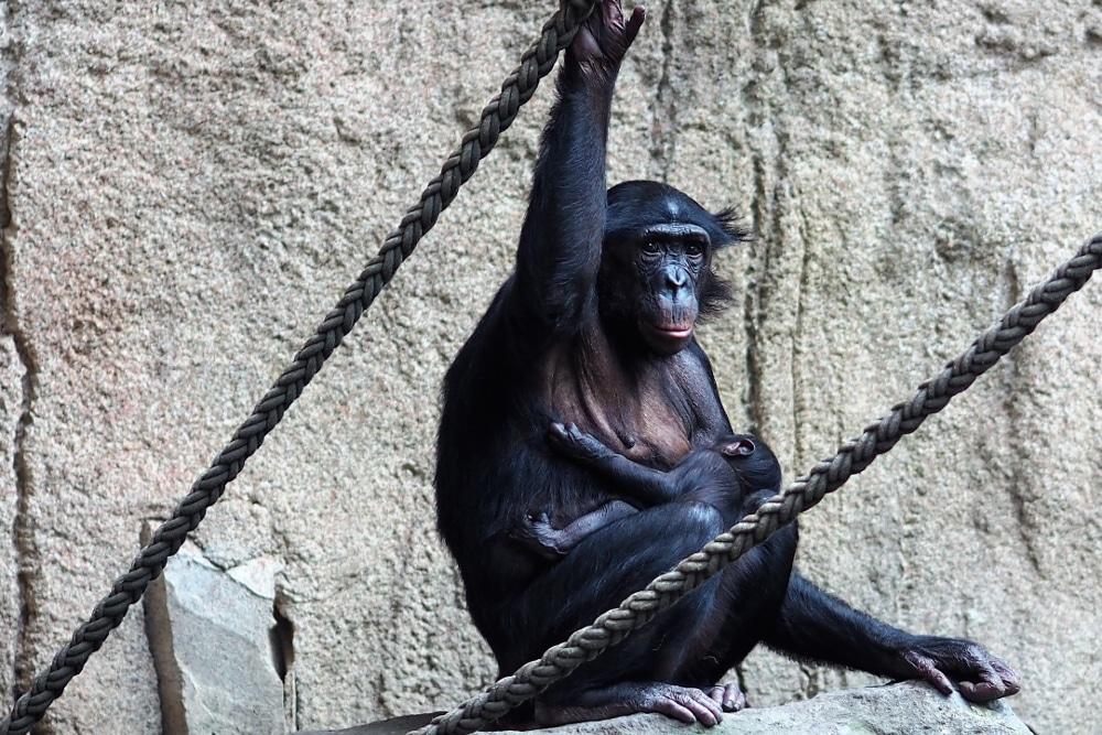 Bonoboweibchen Yasa mit Baby auf der Innenanlage. Foto: Zoo Leipzig