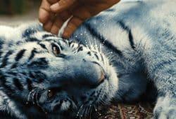 Der blaue Tiger. Foto: Farbfilm