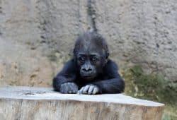 Der Abenteuer-Sommer im Zoo Leipzig mit Gorillamädchen Kianga. Foto: Zoo Leipzig