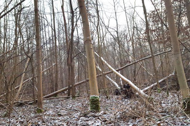 Sturmbruch im Leipziger Auenwald im Januar 2018. Foto: Marko Hofmann