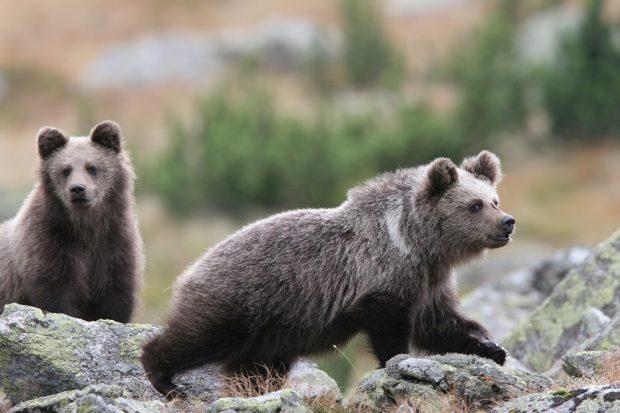 Eine Bärin streift mit ihren beiden Jungen auf der Suche nach Heidelbeeren umher. Aufgenommen im September im Tatra-Gebirge, Polnische Karpaten. Eine Bärin streift mit ihren beiden Jungen auf der Suche nach Heidelbeeren umher. Aufgenommen im September im Tatra-Gebirge, Polnische Karpaten. Bild: Adam Wajrak