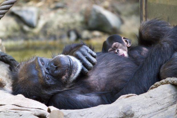 Erfolgreicher Arterhalt in Pongoland. Foto: Zoo Leipzig