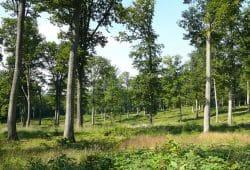 150 Jahre alte Eichen in der Forêt domaniale de Bercé. Foto: INRA / Didier Bert