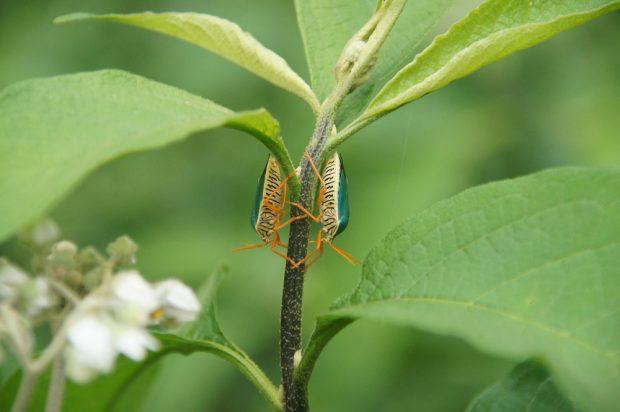 Noch sind auch solche Käfer in unserer Landschaft zu finden. Foto: Irene Bender / iDiV
