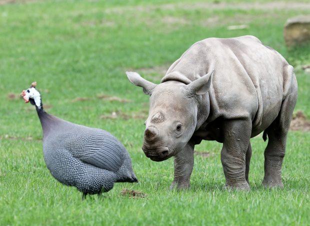 Nashornbulle Sudan mit Perlhuhn auf der Kiwara-Kopje, Quelle: Zoo Leipzig