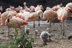 Nachwuchs bei den Chileflamingos in der Lagune. Foto: Zoo Leipzig