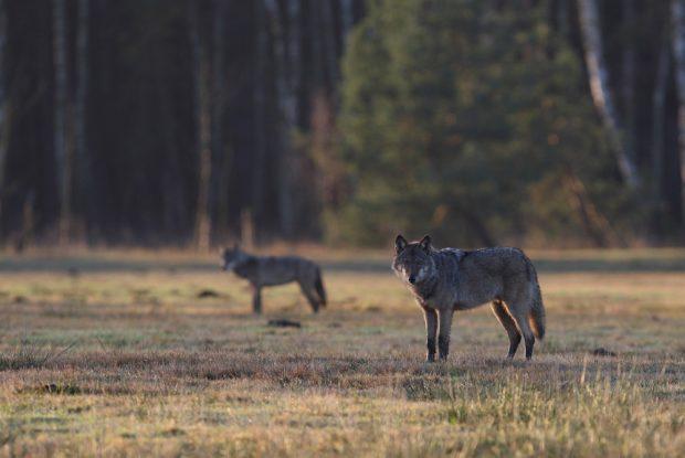 Zwei Daubaner Wolfswelpen. Die CDU in Sachsen fordert, zum Entsetzen von Naturschutzvereinen, eine Lockerung der Abschussregeln für die unter strengem Schutz stehenden Tiere. Foto: Michael Hamann