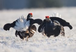 Birkhühner, Foto: Gläßer