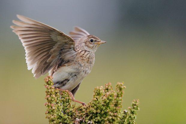 Die Feldlerche mit aufgespannten Flügeln: Die Männchen singen meist im Flug aus einer Höhe von 50 bis 200 Metern. Foto: Peter Lindel