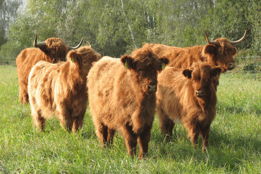 """Schottische Hochlandrinder werden im Naturschutzgebiet """"Wölperner Torfwiesen"""" zur Beweidung eingesetzt. Foto: Edith Köhler"""