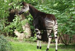 49 Okapi Zawadi - hat in Leipzig bereits zwei Jungtiere aufgezogen © Zoo Leipzig