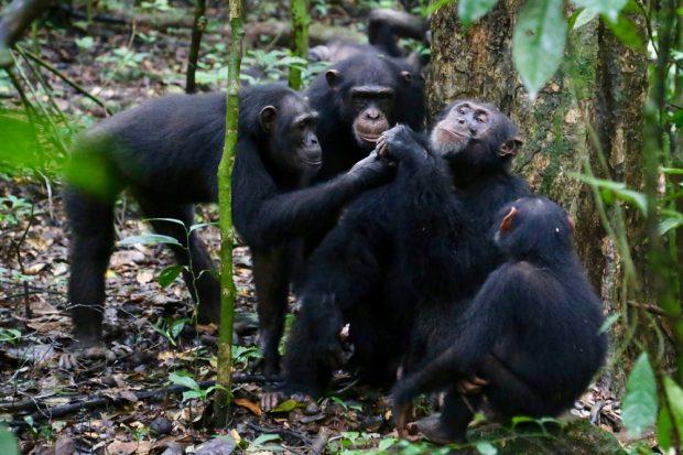 Schimpansen im Taï-Nationalpark an der Elfenbeinküste teilen Nahrung mit ihren Freunden. Foto: Liran Samuni, Taï Chimpanzee Project