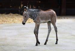 Zebrastutfohlen Karla, Foto: Zoo Leipzig