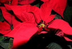 Weihnachtssterne, Adventsstimmung und ein paar Überbleibsel aus dem Sachsenmonitor. Foto: L-IZ.de