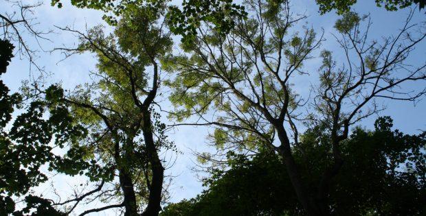 Gelichtete Baumkronen der Eschen im Auwald. Foto: Ralf Julke