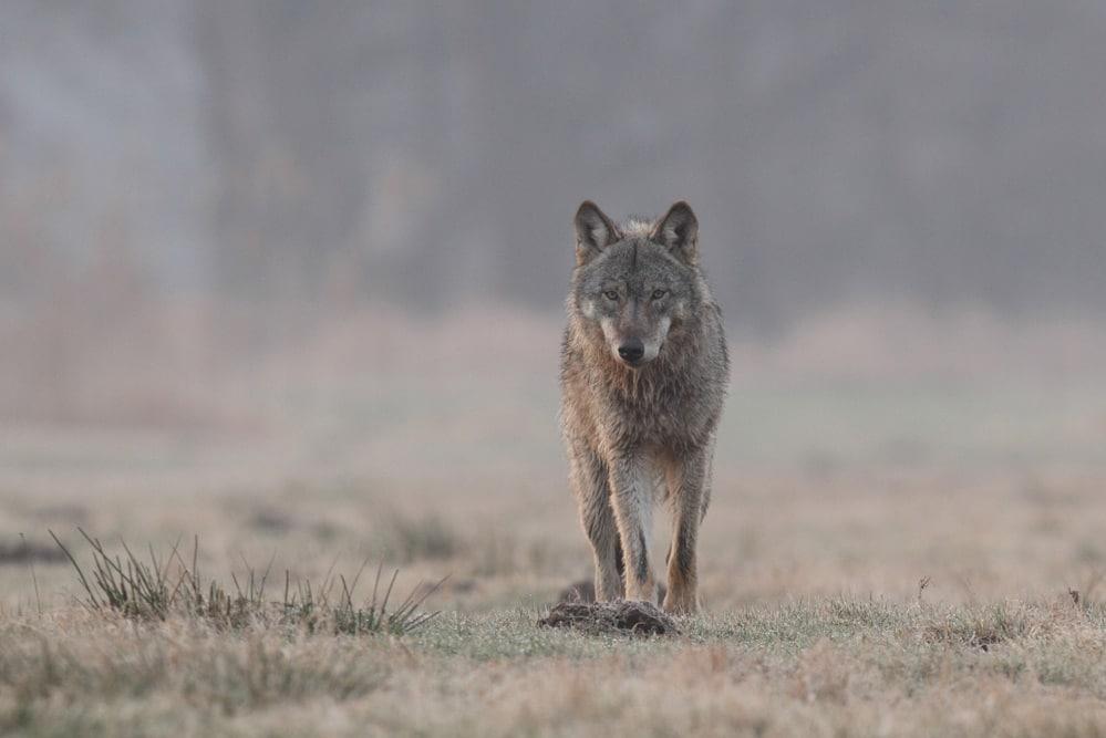 Zehn Monate alte Wölfin des Daubaner Rudels im Februar 2016. Foto: NABU/Michael Hamann