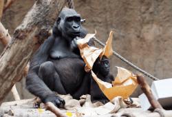 Kumilis Sohn Kio hat morgen Geburtstag © Zoo Leipzig