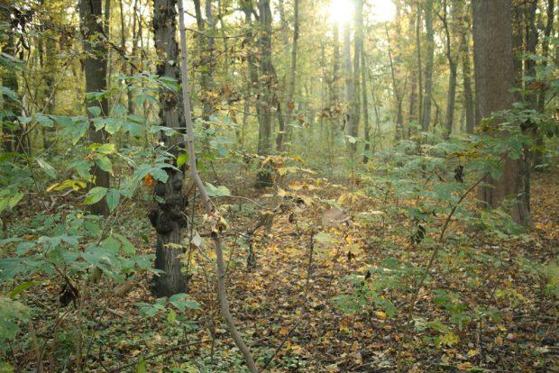 Der trocken liegende Wald in der Burgaue. Foto: Ralf Julke