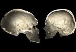 Computertomografie eines Neandertaler-Schädels (links) und des Schädels eines modernen Menschen. Grafik: Philipp Gunz