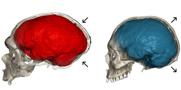 Vergleich zwischen dem eher länglichen Schädel eines Neandertalers und dem runden eines modernen Menschen. Grafik: Philipp Gunz