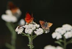 Dukaten-Feuerfalter (Lycaena virgaureae) und Brauner Feuerfalter (Lycaena tityrus). Foto: Petra Druschky, Wandlitz