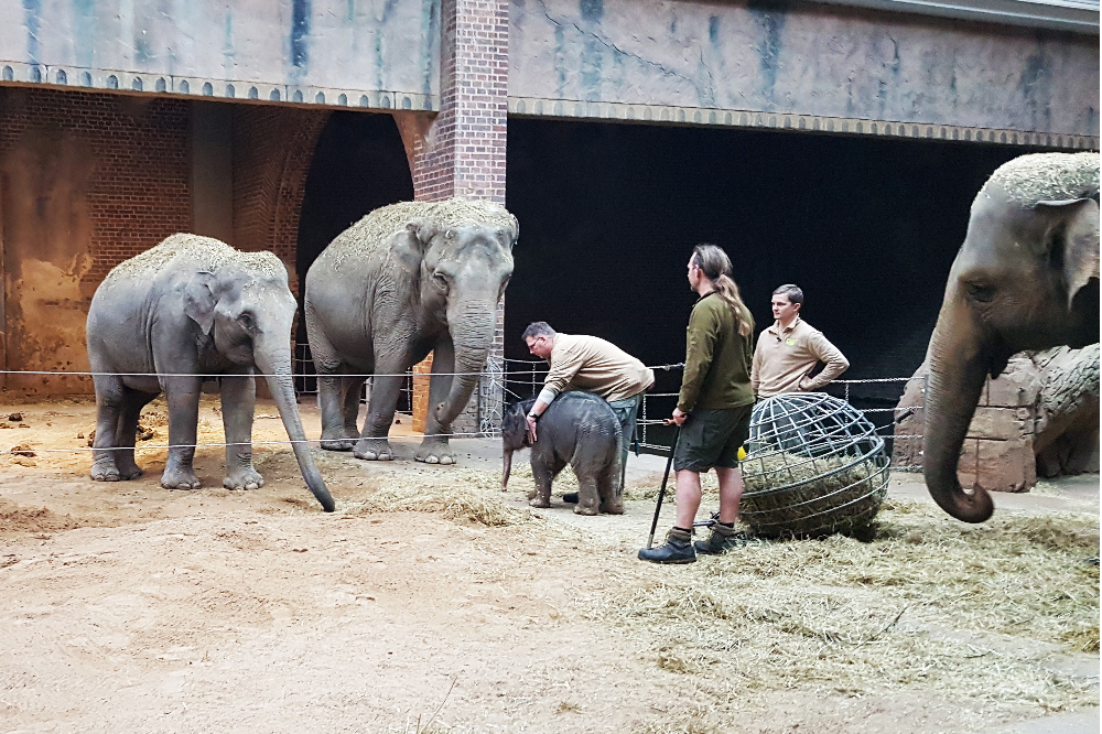 Die potenziellen Tanten Rani und Don Chung beobachten das Elefantenkalb © Zoo Leipzig