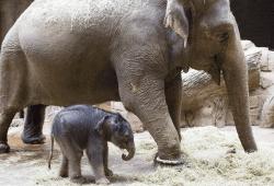 Elefant Hoa mit Kalb © Zoo Leipzig