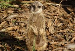 Erdmännchennachwuchs auf der Außenanlage © Zoo Leipzig
