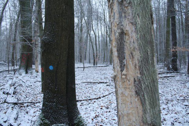 Selbst die abgestorbenen Bäume sind wertvoll: Hier findet der Specht selbst im Winter jede Menge leckerer Larven im morschen Holz. Foto: Ralf Julke