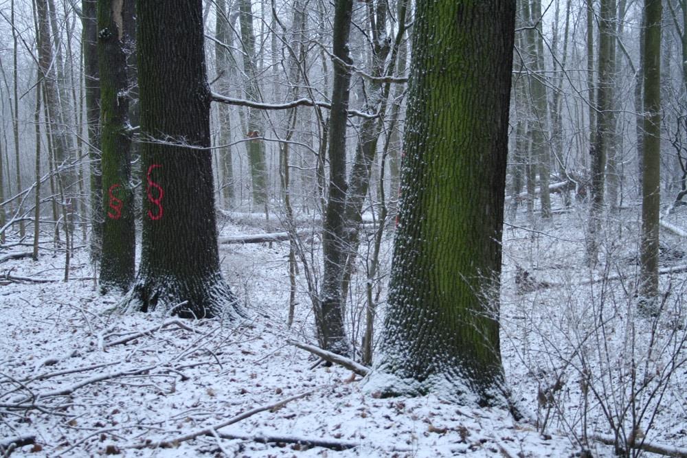 Starkbäume direkt am Ufer des alten Flusslaufs. Foto: Ralf Julke