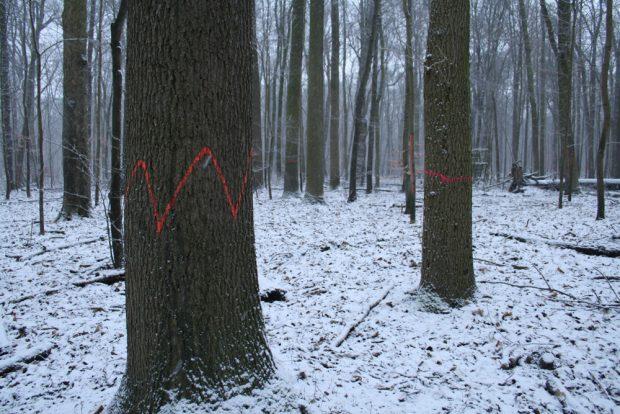 Wellenzeichen an starken Bäumen ... Foto: Ralf Julke
