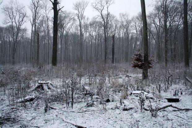 Freigeschlagene Lichtung in der Burgaue. Die gepflanzten Wildapfelbäume sind umgefallen. Foto: Ralf Julke
