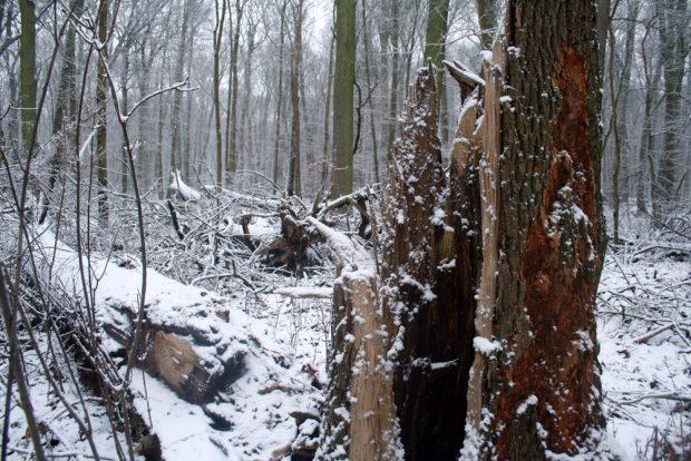 Windbruch in der Burgaue. Foto: Ralf Julke