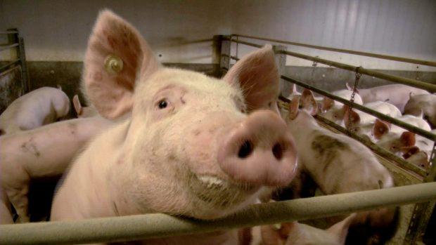 Schweinemast in Deutschland. In der konventionellen Haltung wird in der Regel Gensoja verfüttert. Quelle: BUND Leipzig